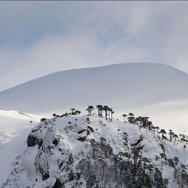 Parque nacional conguillio. Araucarias nevadas.