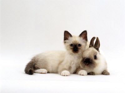Twins: Rabbit, Siam Cat, Identity Theft, Animal Pictures,  Siamese, Funny Cat, Easter Bunnies, Kittens, Siamese Cat