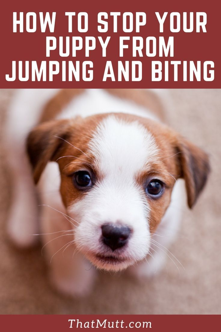 How To Stop My Puppy From Biting Jumping Dog Training Puppy