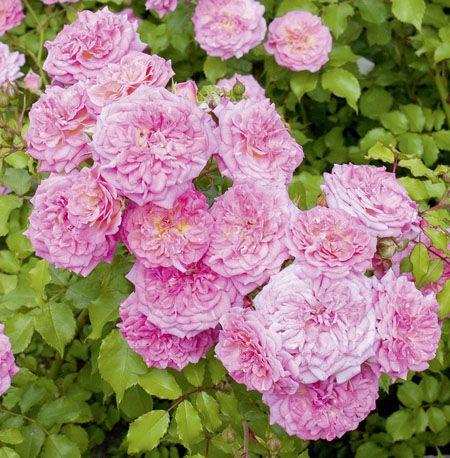 les 28 meilleures images du tableau rosier couvre sol sur pinterest rosier couvre sol fleurs. Black Bedroom Furniture Sets. Home Design Ideas