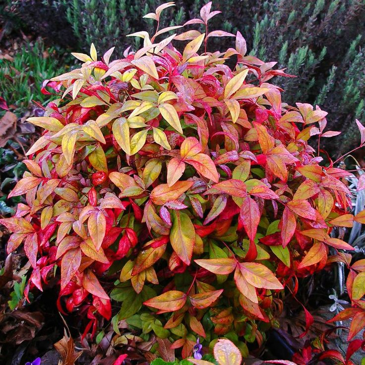 Firehouse Dwarf Nandina  evergreen, red fall color  This dwarf variety holds that red fire engine color all Winter. It has a compact mounding form with bright green Spring foliage.  prune, selectively cut the stalks and stagger the heights of each cane instead of cutting them all off to the same height - resistant to deer, drought, heat & humidity, pollution, rabbits, seashore, slope, and wind.