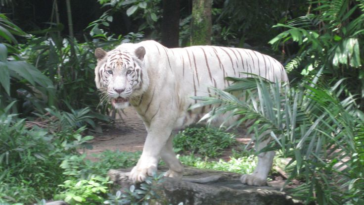 Bedrohte Tierarten: Der Tiger