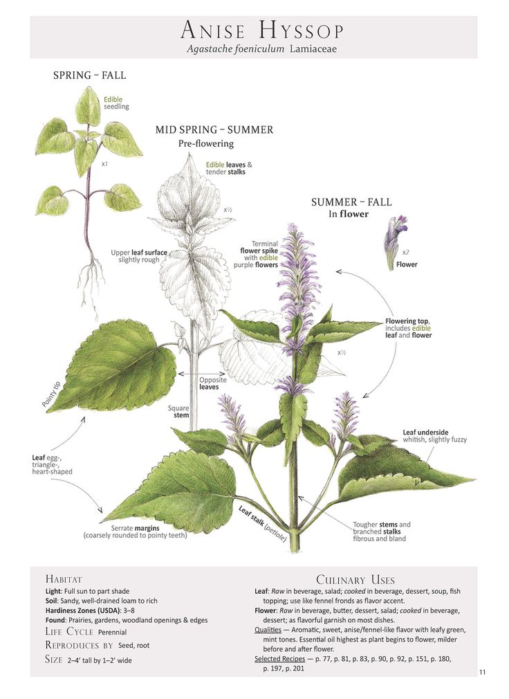 how to grow anise hyssop