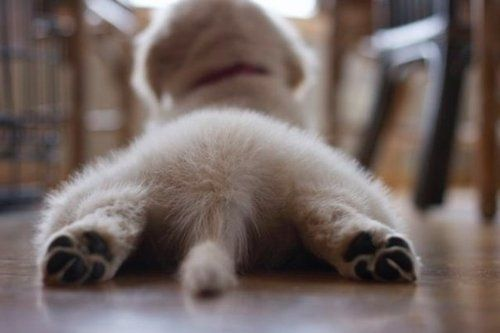 Dogs, Little Puppies, Yoga Poses, Pets, Puppies Bum, Puppy'S, Puppies Butt, Fluffy Puppies, Animal