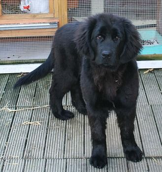 newfoundland mixed with lab: Best of both breeds!
