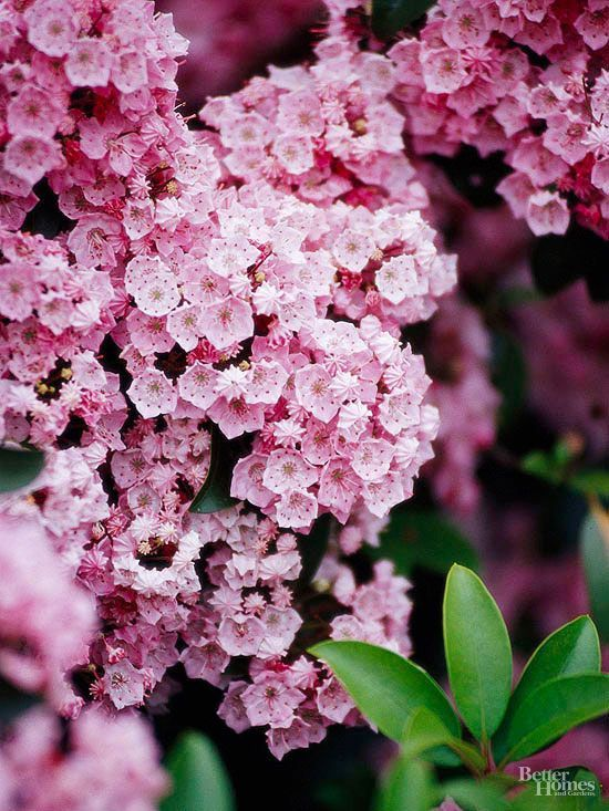 Mountain Laurel If you take a springtime drive through the Appalachian Mountains you may see wild mountain laurels in flower on hillsides and meadows. This spectacular native evergreen shrub makes a great landscape plant sporting large clusters of cup-shape rose or white flowers with purple markings. It prefers a rich, slightly acid soil and makes a wonderful companion for azaleas and rhododendrons. Mountain laurel is also rabbit- and deer-resistant. Botanic Name: Kalmia latifolia Light…