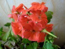 Герань: выращивание и уход за геранью в домашних условиях