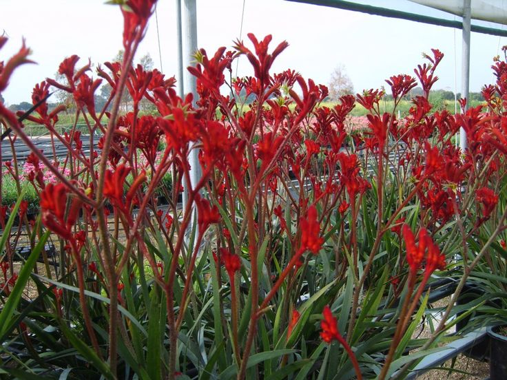 Anigozanthos 'Ruby Velvet'