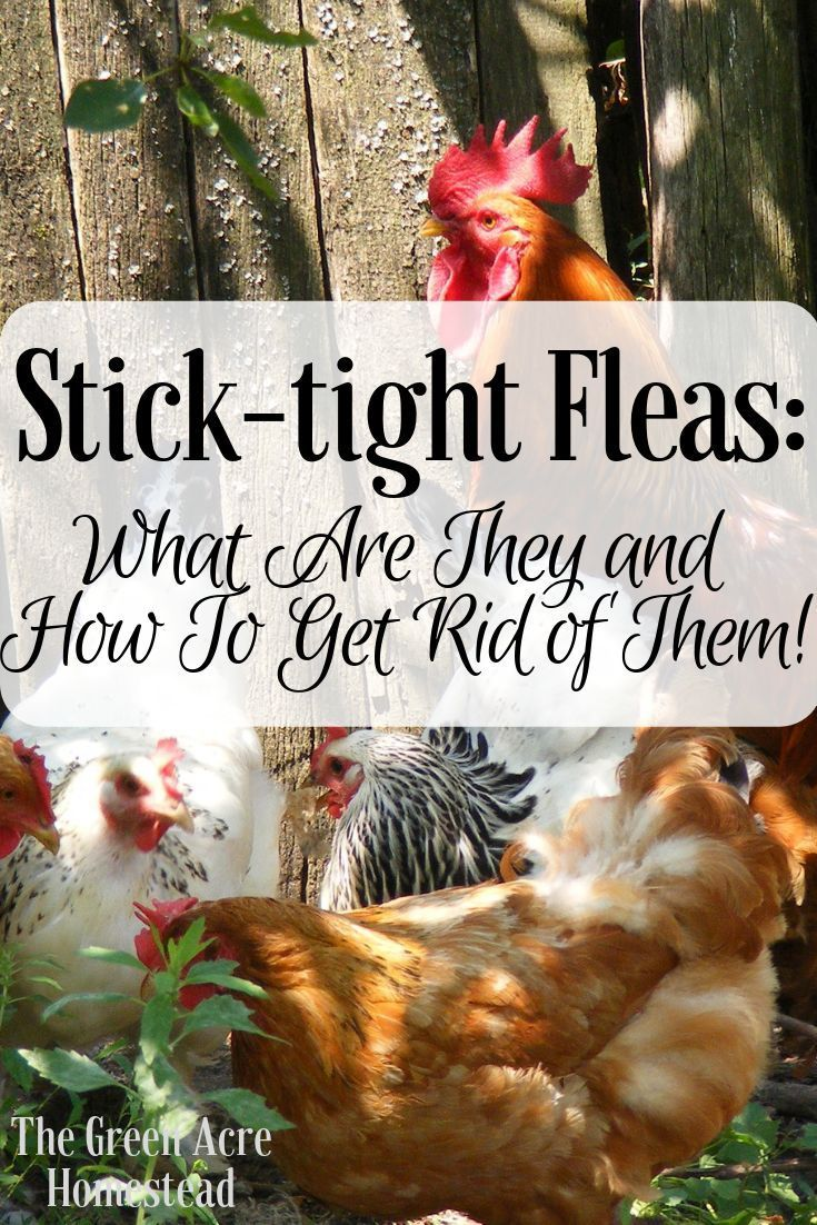 Stick Tight Fleas And How To Get Rid Of Them Grow Where You Sow Raising Backyard Chickens Raising Chickens Fleas
