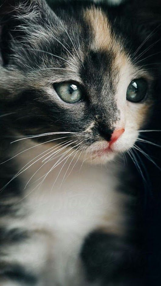 Animal, chaton tricolore (blanc, noir, beige)