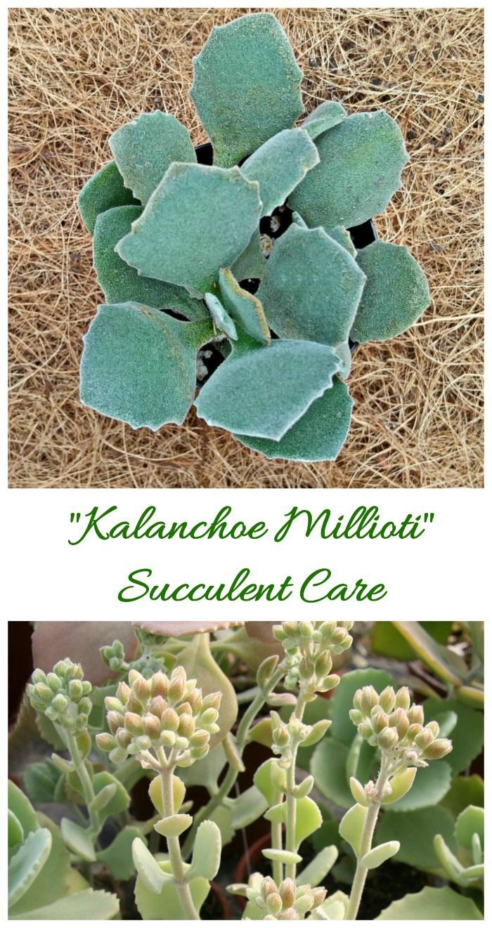 Kalanchoe Millotii Ornamental Succulent From Madagascar The