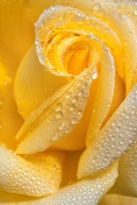 ✯ Yellow Rose Of Texas ♥ Beautiful flowers :) garden gardening pretty cool fashion design flower