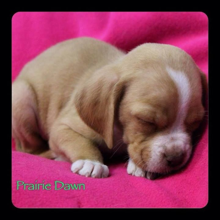 The Sesame Street LitterI'm Prairie Dawn, a 5week old pug/beagle mixTo be considered for adoption, you must fill out an application at http://www.poetanimalrescue.orgThank you for considering rescue!!