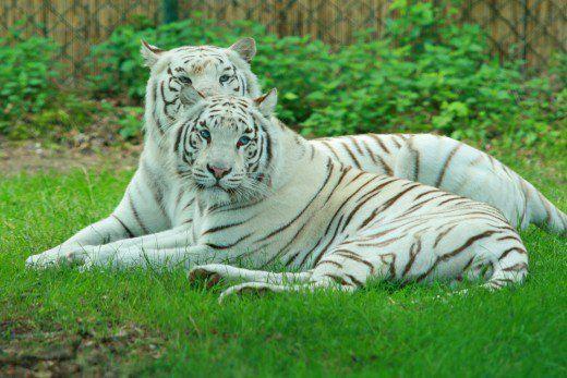 Two white tigers at Zoo Safaripark Stukenbrock in Germany