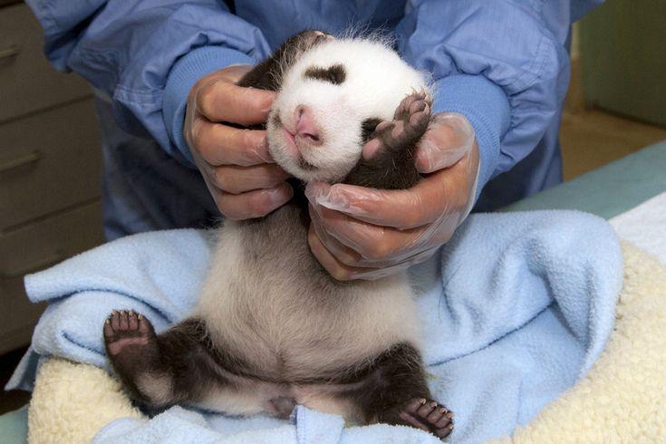 Ein Pandababy