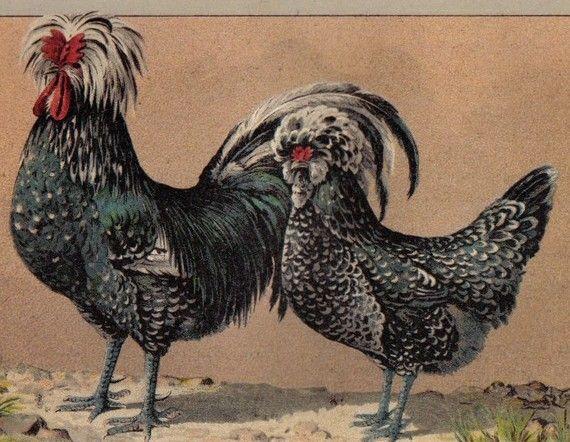 1899 Houdan Chicken Breed Cock And Hen Original Antique