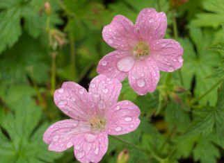 GERANIUM oxonianum 'Rose Clair' - Storkenæb, farve: rosa, lysforhold: sol/halvskygge, højde: 40 cm, blomstring: juni - september, god til bunddække.