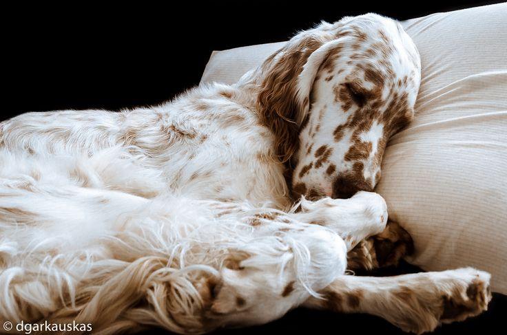 Ok, take the pillow... [Banjo, English Setter] | Flickr - Photo ...
