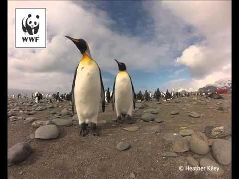 WWF - Penguins