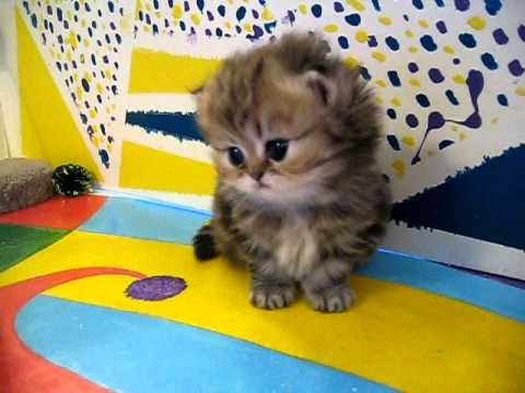 """Cute Persian kittens: the """"I"""" Litter 1 of ? - 7.10.11 - http://www.gigglefinger.com/cute-persian-kittens-the-i-litter-1-of-7-10-11/"""