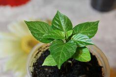 Un metodo efficace per coltivare peperoncini in casa: pochi consigli (ma buoni) per coltivare peperoncini in modo facile