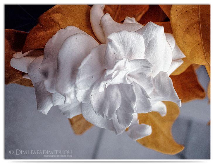 Gardenia by LightSculpting.deviantart.com on @DeviantArt