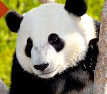 I would like to go see a panda because I never have seen a panda before and I would like to go see one soon.