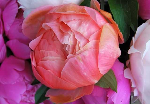 How to care for peonies #Garden #Top_Peony_Care #Best_Garden_Decor  #Peony_Care_Tips