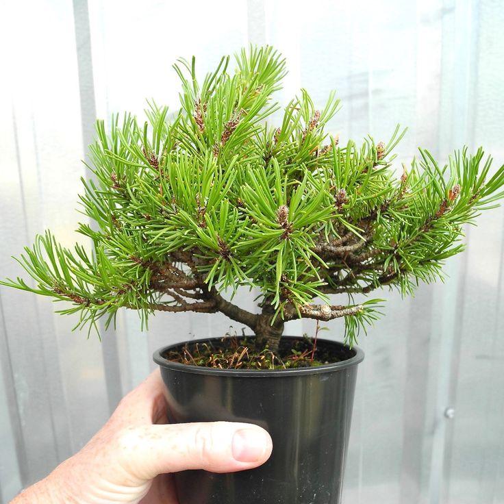 Bonsai Starter Tree, Miniature Garden Tree, True Dwarf Mugo Pine, Slow  Groweru2026