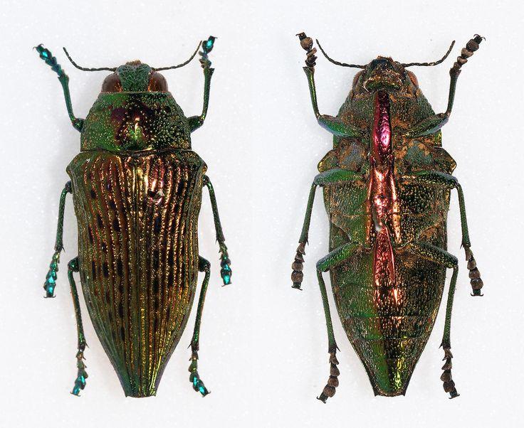 https://flic.kr/p/De2b5e | Psiloptera reichei | Laporte & Gory,1836 Sex: ? Data: Obidos - Brazil Size: 24mm