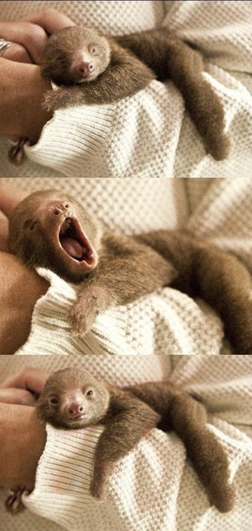 Baby sloths  yay or nay ? http://ift.tt/2x67zhP