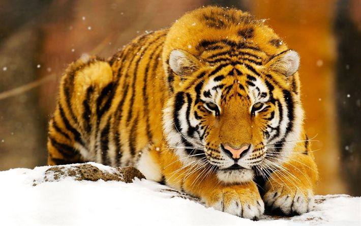 Download wallpapers Siberian Tiger, winter, wildlife, predators, Amur tiger, Panthera tigris altaica
