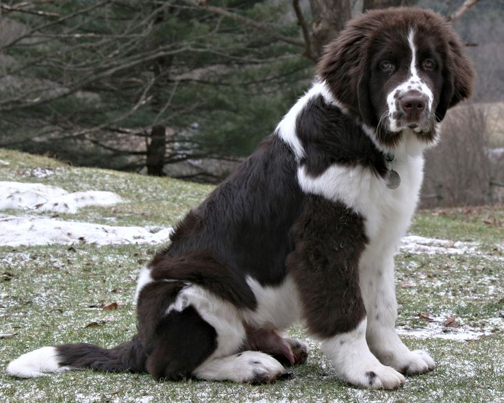 126 best landseer images on pinterest photos best friends and dog. Black Bedroom Furniture Sets. Home Design Ideas