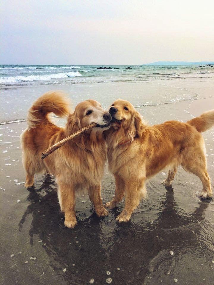 Golden Retriever Puppy Vsco Riccibousman Golden Retriever