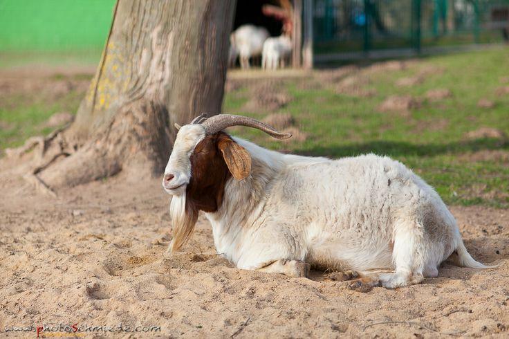Pin Von Photoschmiede Auf Im Tierpark Tiere Ziege Und Park