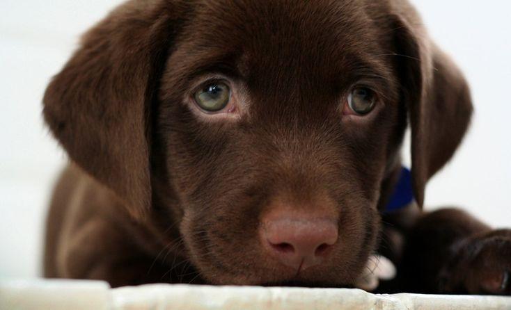 Chocolate Lab Puppy: Animals, Dogs, Chocolates, Chocolate Lab Puppies, Chocolate Labs, Puppys, Labrador