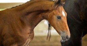 Dressage Horse For Sale: Find your Next Dressage Horse!