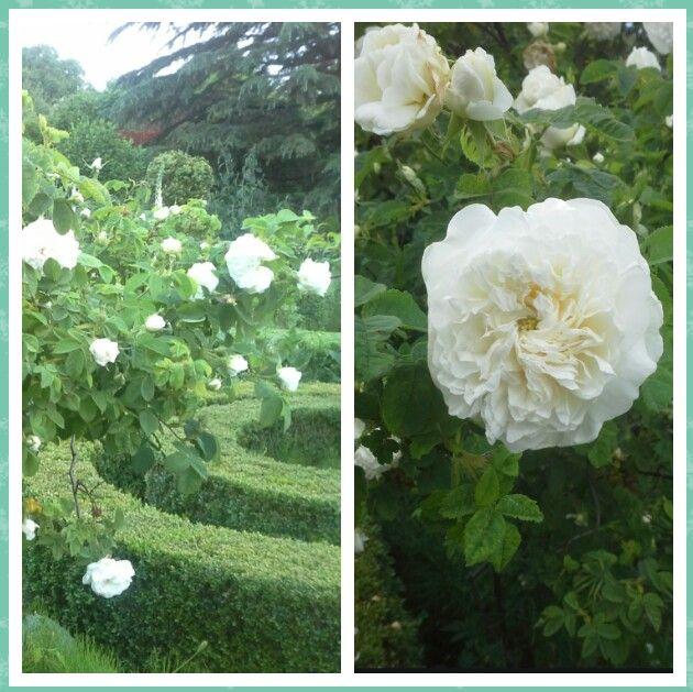 Rosa Mme. Hardy, deze oude struikroos is zuiver wit met een groene knoop in het hart. Hardy was de tuinman van Keizerin Josephine in Malmaison. Hij kweekte de roos in 1832, en vernoemde de roos naar zijn vrouw.  Wij hebben haar aangeplant in de kruidentuin.