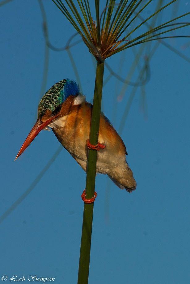 Malachite kingfisher at Xigera – A Wetland of Wonders