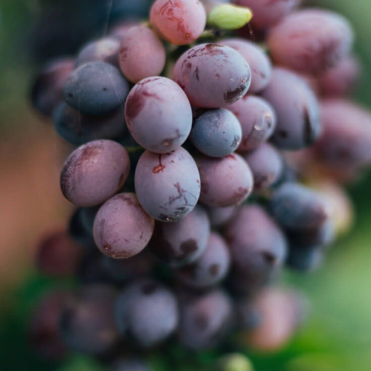The Life-Extending, Brain-Boosting Benefits of Grapes Nutrition