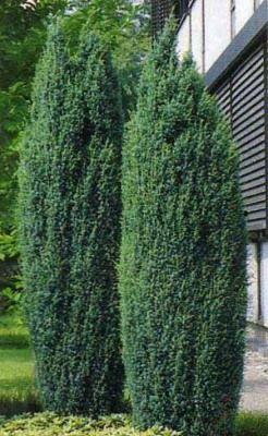 Kolibri kertészet - Oszlopos boróka (Sentinel)