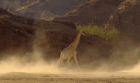 【画像あり】百獣の王ライオン、キリンに襲いかるも飛んできたビニールのようにあしらわれる