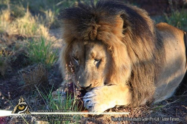 Cat fight or not: The interrelationships between the larger carnivores - Article by Prof J du P Bothma