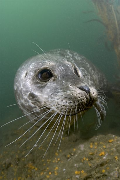 Kawika Chetron, Harbor seal (Phoca vitulina)