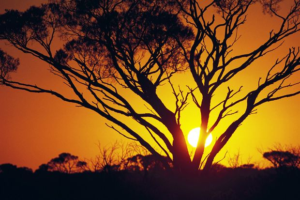 Aussie deserts: Silhouette of a Myall Tree at sunset, Woomera area, South Australia.