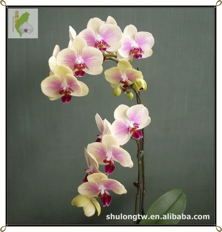 Taiwan Orchid Nursery is absolutely ideal for growing quality Phalaenopsis. Description from http://alibaba.com. I searched for this on bing.com/images