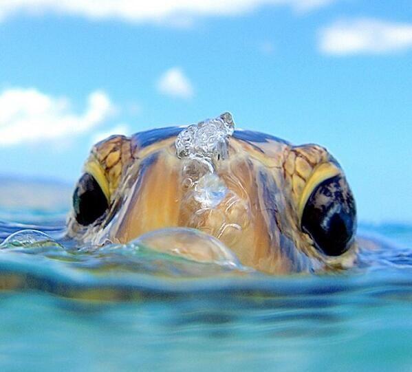 Tortuga en Hawaii