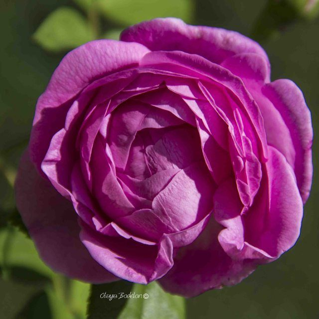 #Happytuesday #rose #May #flowers #month #spring  #eos550d #canonespaña #nofilters #macro #flores�� #flowerpic #primavera #fruhling #berlin #travel #garten #garten #nature #naturpic #picoftheday #pink #jardin #giardino #rosa http://tipsrazzi.com/ipost/1510951205824064982/?code=BT3-h3IF23W