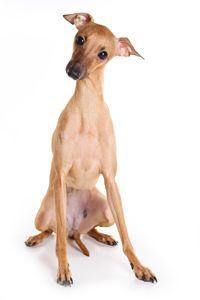 galgo miniatura razas de perros pequeños