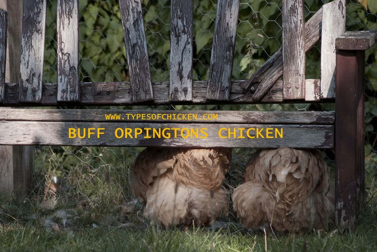 This Monday we present you the Buff Orpington Chicken, and everything you should know about them! Fun, friendly and very quiet chickens!!!